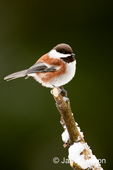 Chestnut-backed Chickadee perched on newly-pruned bare snow-covered branch