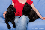 Woman cuddling her two black Pugs sitting on a sheet-covered couch