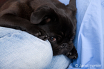 Black Pug, Bean, cuddling with his owner