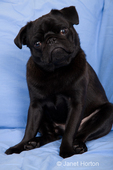 Black Pug, Bean, sitting on a sheet-covered sofa, with his head tilted in a questioning look at funny sounds being made
