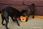 Two black pugs playing tug with a stuffed toy