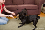 Two black pugs playing tug with a stuffed toy, with owner, Thea, looking on