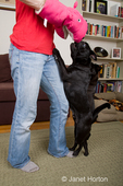 Woman, Thea, using a hand puppet to encourage her black Pug, Bean, to play