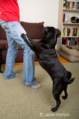 Black Pug, Bean, being naughty and jumping up on his owner