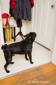 Black Pug, Bean, barking at the door at the sound of the doorbell
