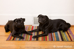Two black Pugs lying down on a rug