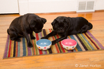 Two black Pugs waiting patiently to eat the food in their bowls, until their owner says it is okay to do so