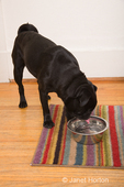 Black Pug, Bean, drinking from his water bowl