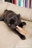 Black Pug, Bean, chewing on a chew stick