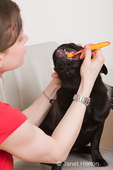 Woman, Thea, brushing the teeth of her black Pug, Bean