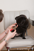 Woman, Thea, trimming the nails of her black Pug, Bean