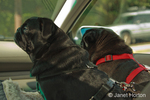 Two black Pugs, Frank and Bean, riding in a car in a car seat with their harnesses on for safety