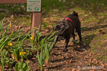 Black Pug, Bean, sniffing early Spring daffodils