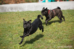 Two black Pugs running and chasing each other at the park