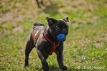 Black Pug, Bean, running with a ball in his mouth