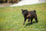 Black Pug, Bean, running at an urban park