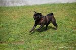 Black Pug, Bean, running at the park
