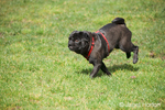 Black Pug, Bean, running in a park