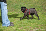 Black Pug, Bean, running to his owner, Thea, at the park