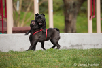 Two black Pugs wrestling each other, play fighting, at the park