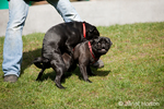 Male black Pug acting dominant towards another male Pug