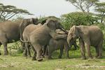 Elephant immatures playing