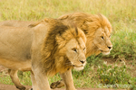 Two male lions walking together