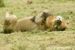 Male lion rolling on his back