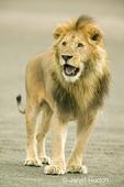 Male lion walking on beach