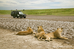 Lionesses resting with safari vehicle of people looking on