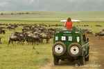 Woman standing up in safari vehicle in middle of Wildebeest (or Brindled Gnu) migration