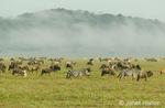 Wildebeest (or Brindled gnu) and Common Zebra Migration