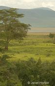 Acacia trees landscape