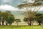 Yellow Fever Acacia tree with fog landscape