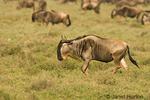 Wildebeest (or Brindled gnu) migration