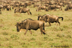 Wildebeest (or Brindled gnu) migration