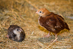 Rhode Island Red chick standing and Black Americana chick sitting on a straw bale at Baxter Barn