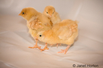 Three Buff Orpington chicks standing on white plastic at Baxter Barn farm