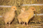 Three Buff Orpington chicks standing on a bale of hay at Baxter Barn farm