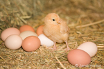 Buff Orpington chick standing beside eggs of various colors, at Baxter Barn farm
