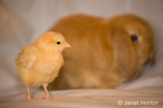 Buff Orpington chick and lop eared bunny at Baxter Barn farm