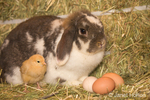 Buff Orpington chick and lop eared bunny next to eggs, on a hay bale, at Baxter Barn farm
