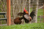 Brown Leghorn rooster flapping its wings and a Rhode Island Red hen at liberty at Baxter Barn farm
