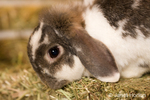 Lop Eared bunny on a bale of hay at Baxter Barn farm