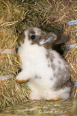 Lop Eared bunny trying to hide between bales of hay at Baxter Barn farm
