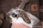 Lop Eared bunny being held tenderly by a man at Baxter Barn