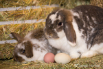 Mother and baby Lop Eared rabbits next to eggs on a bale of hay at Baxter Barn farm.
