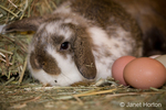 Lop Eared bunny next to eggs on a bale of hay at Baxter Barn farm.