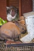 Bunnies in a rabbit cage eating rabbit pellets at Baxter Barn