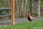 Male Ring-necked Pheasant at liberty at Baxter Barn farm